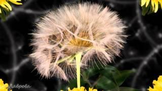 Моцарт и цветы! К 8 марта.(Очень красивый ролик к женскому празднику-Дню 8 марта. Распускающиеся цветы и потрясающе красивая музыка..., 2012-03-02T09:06:29.000Z)