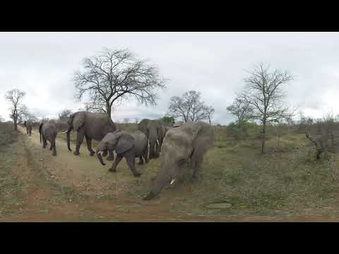 Racing Extinction 360 Video Elephants