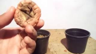 How to Grow Gladiolus Bulb in the pot | Grow Gladiolus Winter flowers - Sep 2016 (Hindi)
