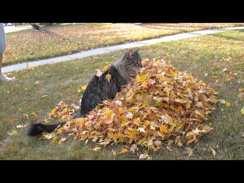 Thumbnail for Cat Video Loki the cat playing with leaves