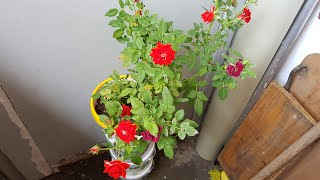 Aprenda a Cuidar da Suas Rosas Com vinagre – detergente