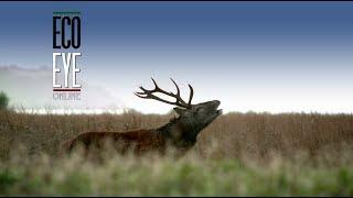 Red &  Sika Deer at Killarney National Park