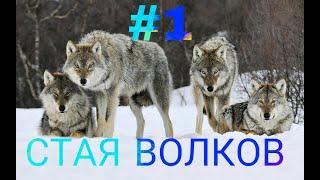 / СЕРИАЛ СТАЯ ВОЛКОВ  #1 / Animal Jam Play Wild/