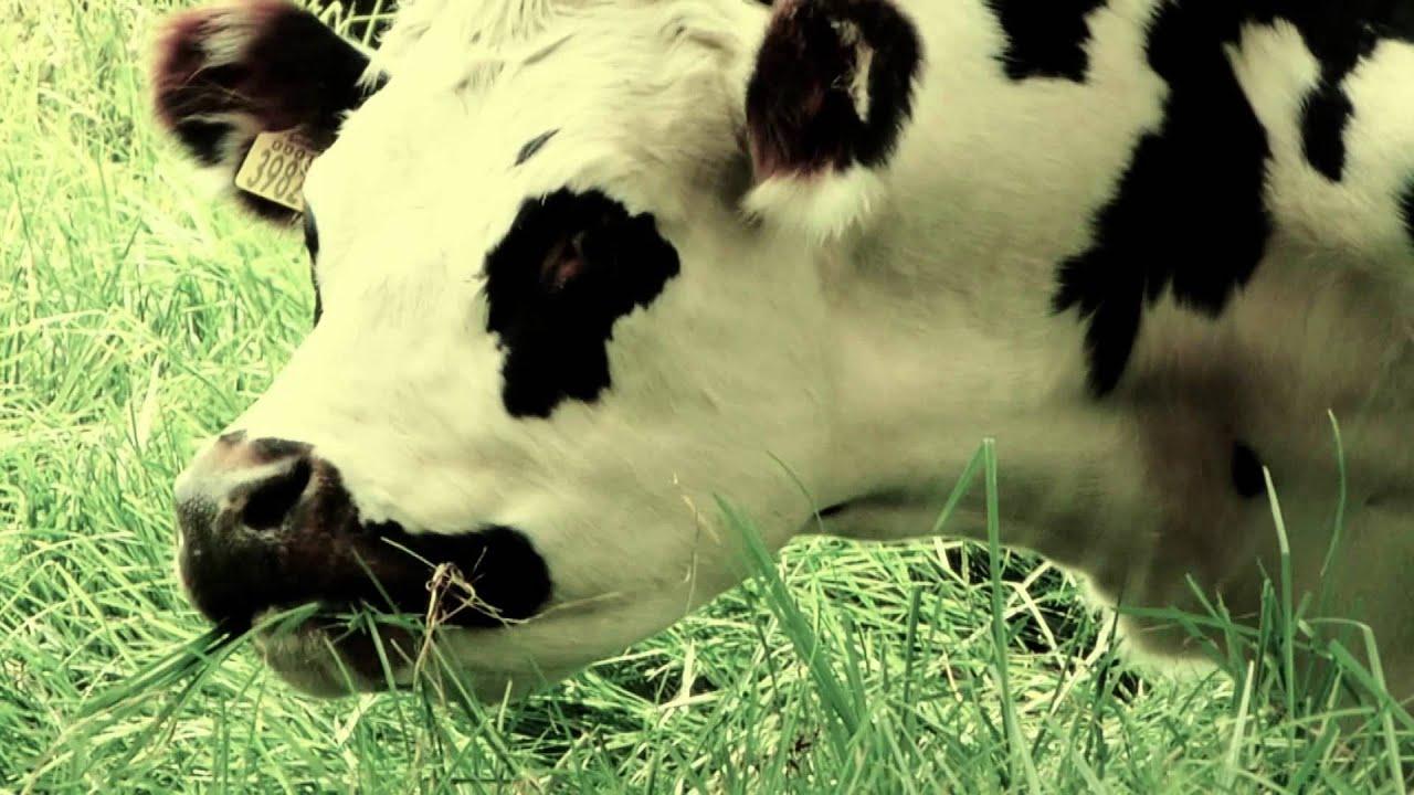 7518 vaca pastando mientras llueve efecto animales for Vacas decorativas para jardin