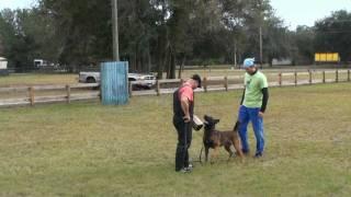 Dog Training Video - Taching The  Ipo/schutzhund  Back Transport.