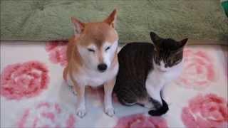 柴犬いちごと猫ミルキー くっついてドキドキ Shiba inu and Cat thumbnail