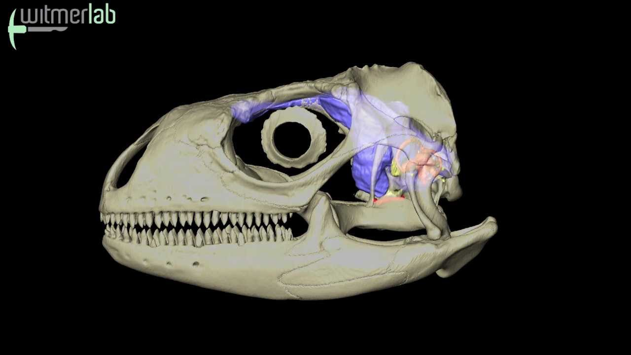 Visible Interactive Iguana - skull with brain endocast & inner ear ...