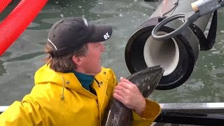 """Whooshh Innovations' """"Salmon Cannon"""" Gives Fish A Boost Over Dams"""