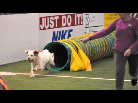 CSCA Agility with Clumber Spaniels