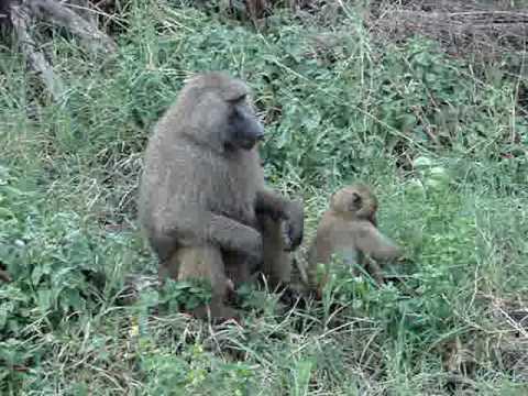 monkeys in lake manyara NP, Tanzania 2008