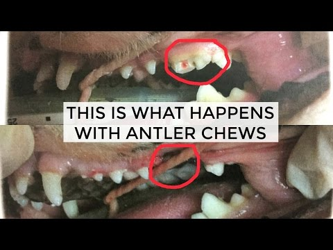HERKY GOT SURGERY BECAUSE OF ANTLER CHEWS: BE CAREFUL | Molar extraction