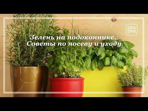Выращивание зелени на подоконнике. Советы по посеву и уходу