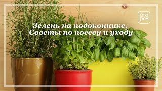 видео Петрушка на балконе выращивание