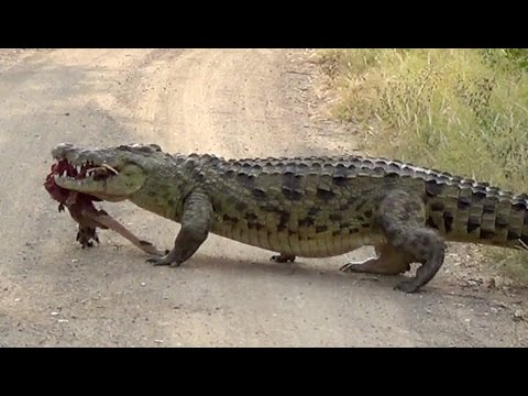 Huge Crocodile Dragging Kill Over The Road