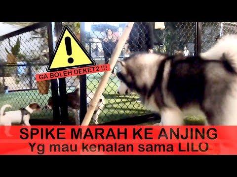 Spike GALAK Ke Anjing Yg Mau Kenalan Sama LILO - VLOG