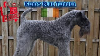Kerry Blue Terriers  Youlia Anderson | HOD #7
