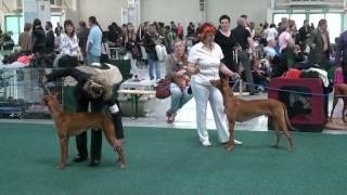 Faraónsky pes: Medzinárodná výstava psov Bratislava 15/05/2010.