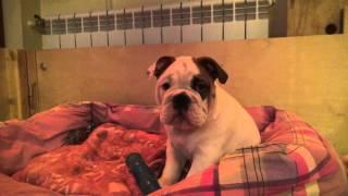 Как приучить щенка к туалету. Купить щенка английского бульдога. PR company BulldogFILL
