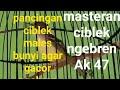 Masteran Ciblek Ngebren Gacor Cocok Buat Pancingan Ciblek Males Bunyi  Mp3 - Mp4 Download