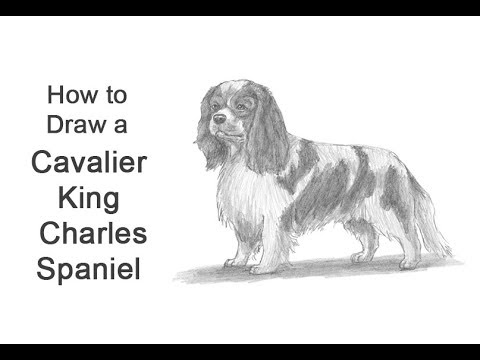 How to Draw a Dog (Cavalier King Charles Spaniel)