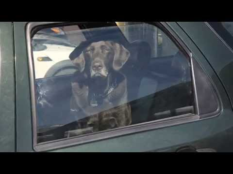 BCSPCA Dogs in Hot Cars 1080p