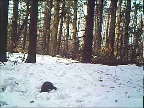 Red squirrel, Mink and Fisher Cat: size comparison.