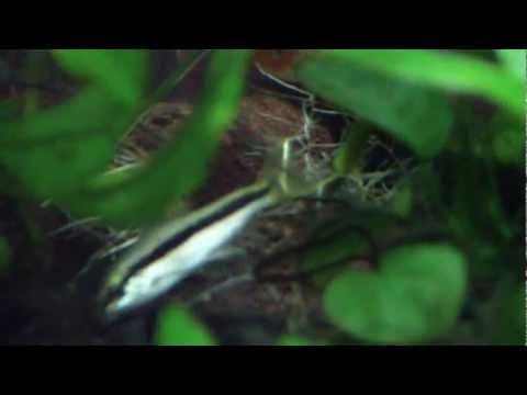 Siamese algae eater, flying fox, or false siamese?