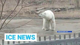 Ice News: Белый медведь гуляет в якутском поселке Джебарики-Хая и профилактические рейды от 11.05.21