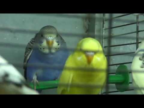 НОВЫЙ ЗАВОЗ волнистых попугайчиков июнь 2019
