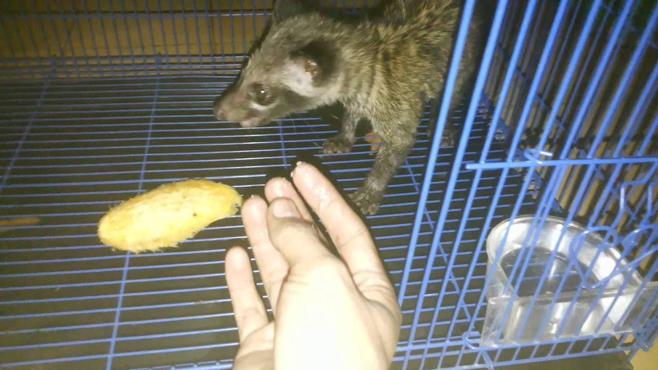 Musang Pandan Makan Pisang Al Lasemy By Lasem Kota Santri