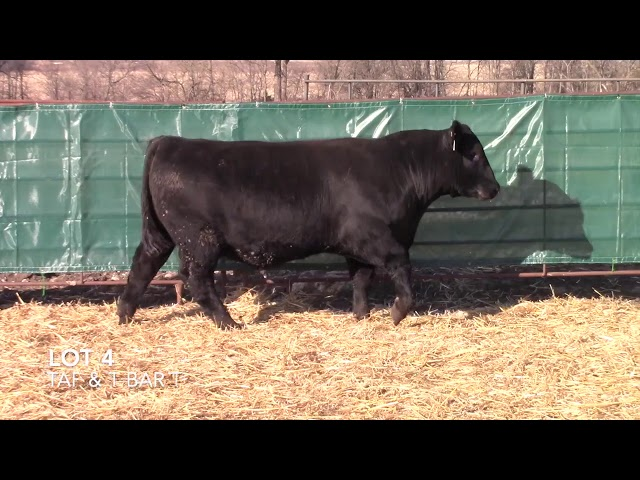 T Bar T and Taliaferro Angus Lot 4