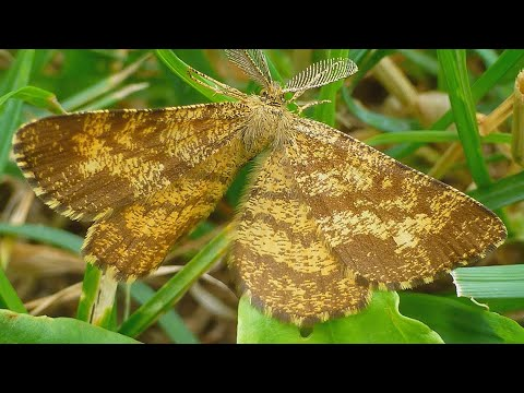 Tmavoskvrnáč vřesový - The common heath (Ematurga atomaria) - ♂