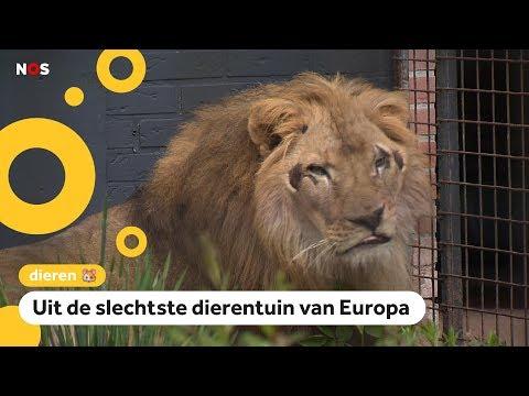Verwaarloosde leeuwen gered en naar Nederland gebracht
