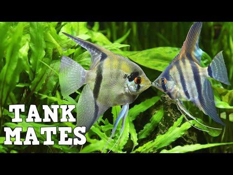 Top 10 Tank Mates For Freshwater Angelfish