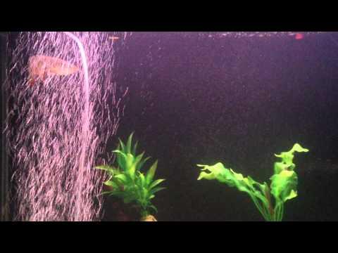 ปลามังกรแดง7นิ้ว