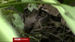 Дымчатый леопард в дикой природе