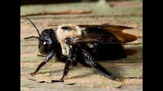 США. Вредители. Пчела-плотник выгрызает в дереве туннели для своей лярвы..(Черные пчелы-плотники не едят древесину,как термиты. Но если они начнут делать свои туннели в вашем доме,..., 2015-05-22T23:35:07.000Z)