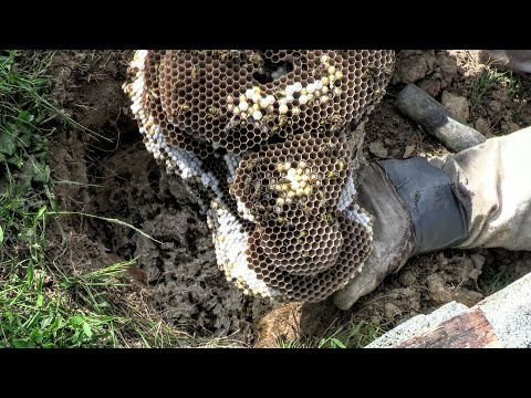 Yellow Jacket MASSIVE Ground Nest STING Wasp Nest Removal ASMR