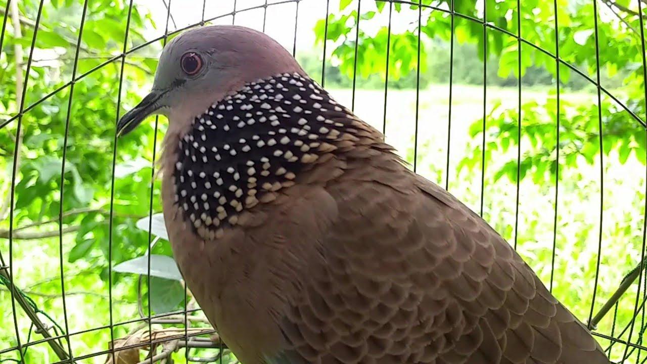 tiếng chim cu gáy gọi giọng đồng cực chuẩn kích mồi