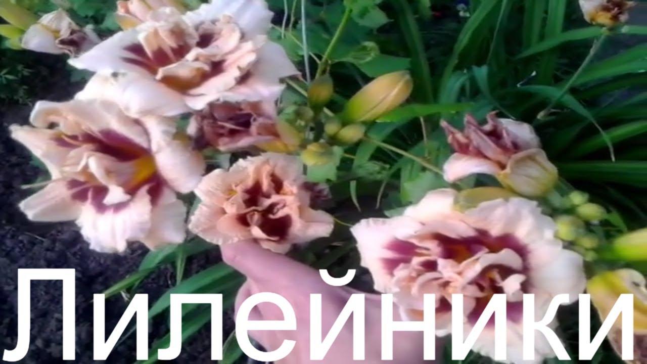 21 ноя 2016. Многолетние цветы для дачи: сад и огород с хитсадтв #садиогородв этом видео вы узнаете названия многолетних цветов для дачи и их особенности. Узнайте еще бол.
