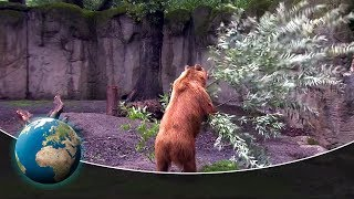 Cute & curious little fur friends - Wild frolicking in the bear enclosure