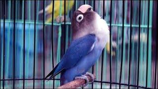 [6.65 MB] Lovebird NGEKEK PALING PANJANG Pemegang REKOR Saat ini  WOW 7 Menit non Stop Liemex