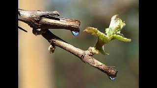 Пасока-сок виноградной лозы,лечебные свойства.
