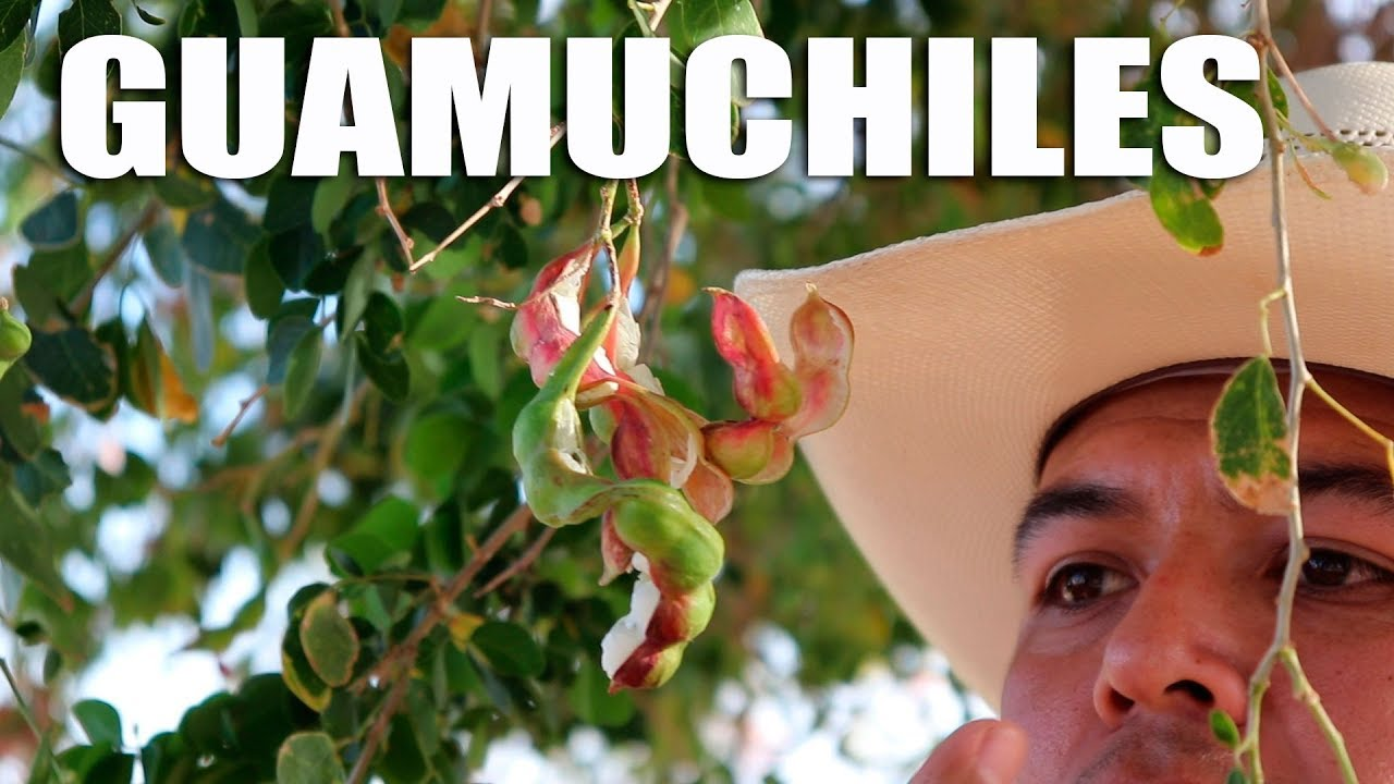 YA HAY GUAMUCHILES EN EL VALLE - YouTube  Guamuchiles