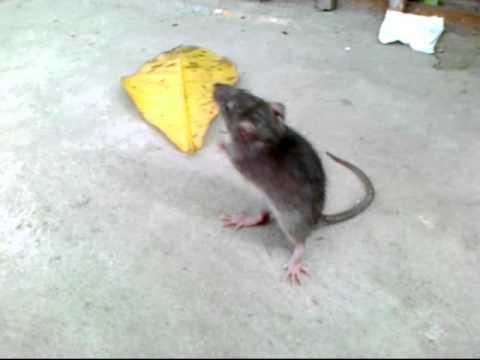 Chuột cắn thuốc lắc, nhảy hiphop !!!