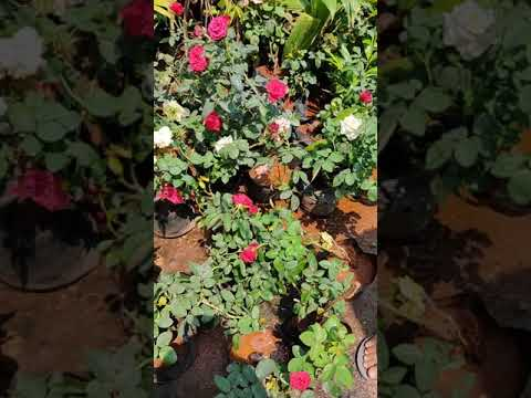 Rose Garden Nursery Lots Of Rose Plant😍 #rosegarden #rosenursery #roseplants #lotsofrose #barsatsong