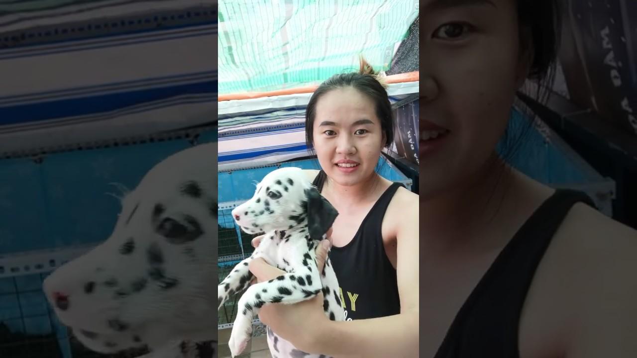 Bán chó đốm con thuần chủng đốm đẹp Hà Nội | 0938.306.975 | Chó đốm | Chó Đốm Con | Bán Chó Đốm Con