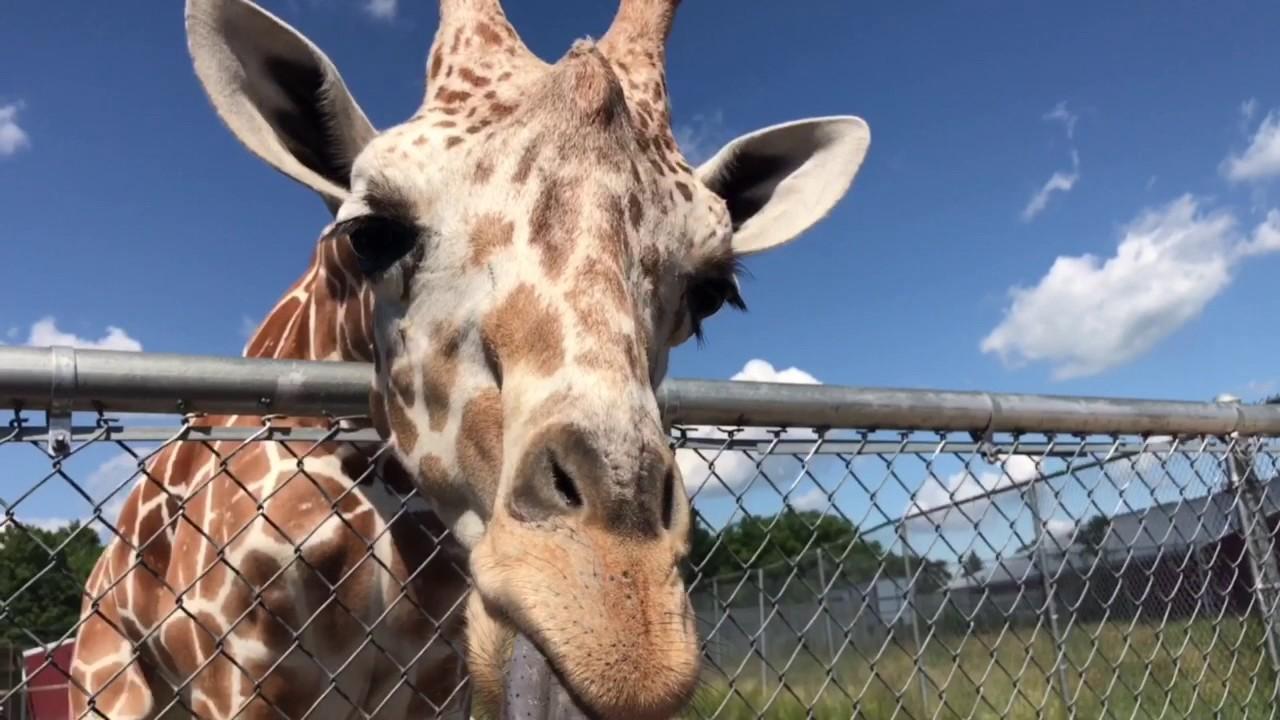 Safari In Ohio >> African Safari Wildlife Park Drive Thru Port Clinton Oh 2017 Youtube