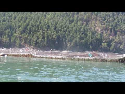 Cypress Island fish farm collapse