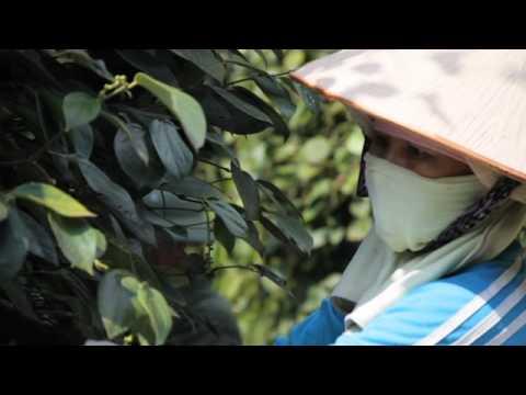 Vietnam ~ Black Pepper Harvest